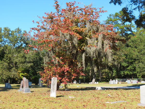 Spanish Moss in Fall Tree_SC